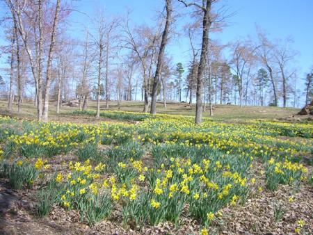 Blooming daffodils...