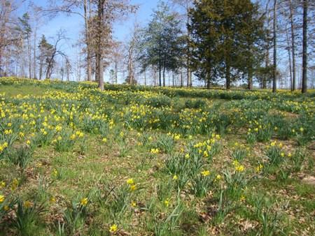 Pretty daffodils...