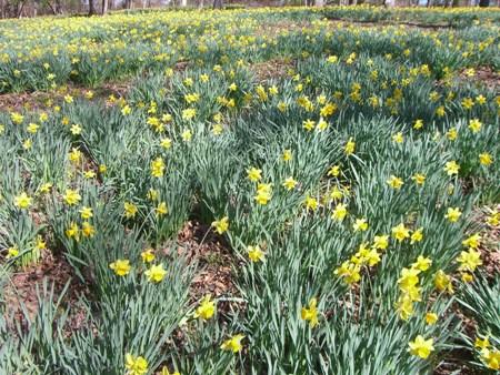 Daffodills everwhere!