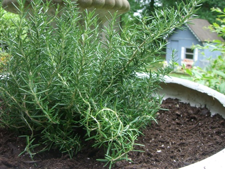 Growing rosemary...
