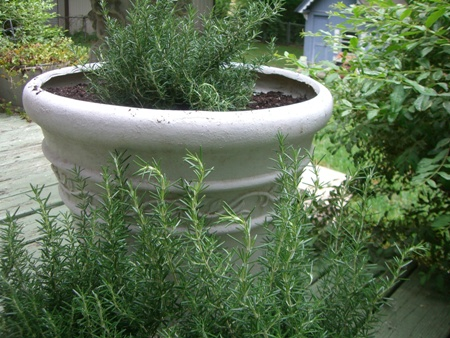 Rosemary in a big pot...