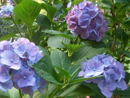 Lavender hydrangeas...
