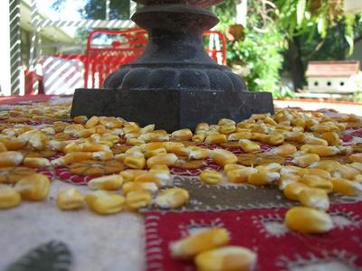 Corn_kernels_2